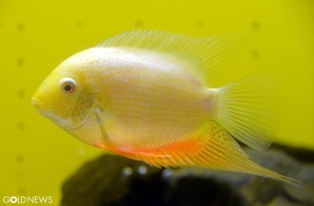 黄金の魚たち